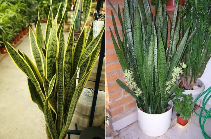 Plantas de interior decora o da casa for Plantas de interior hojas grandes